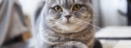 A Useful Review of the Scottish Fold Cat for Prospective Owners