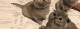 Logical Scottish Fold Cat Price You Must Know Before Buying
