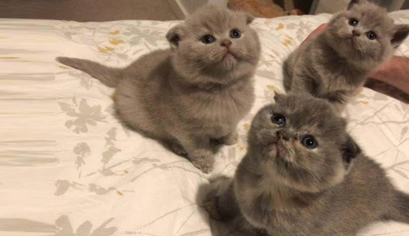 scottish fold cat price