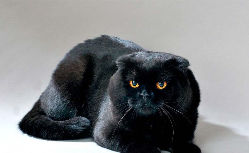 black scottish fold cat