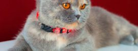 Scottish Fold Cat Personality to Give Your Loving Rightly