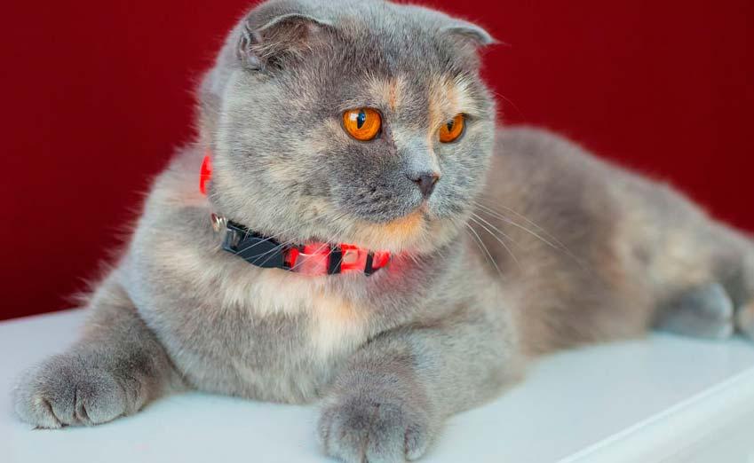 Sscottish Fold cat personality