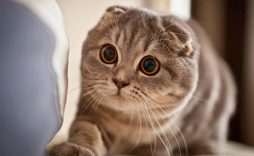 scottish fold munchkin cat price