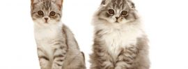 The Most Complete Information About the Long Haired Scottish Fold Cat