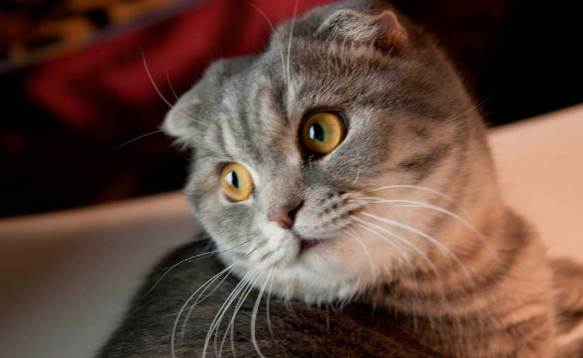 Breed Scottish Fold