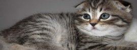 Five Best Scottish Fold Cat Names