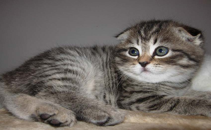 scottish fold cat names