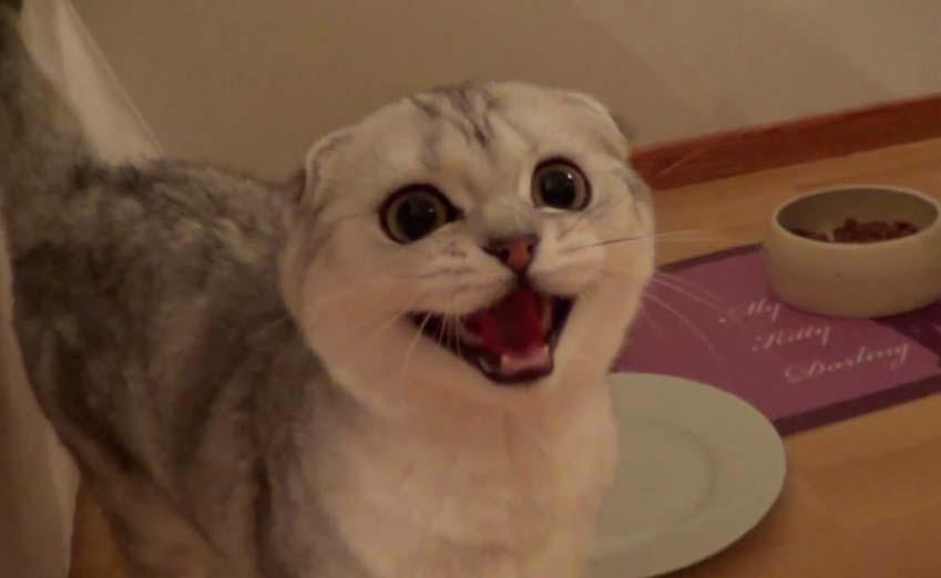 scottish fold cat rescue