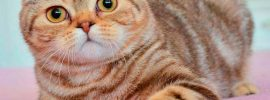 7 Reasons Why You Must Have Scottish Fold Cat House