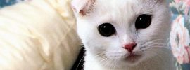 What You Need to Know About Scottish Fold Cat Images