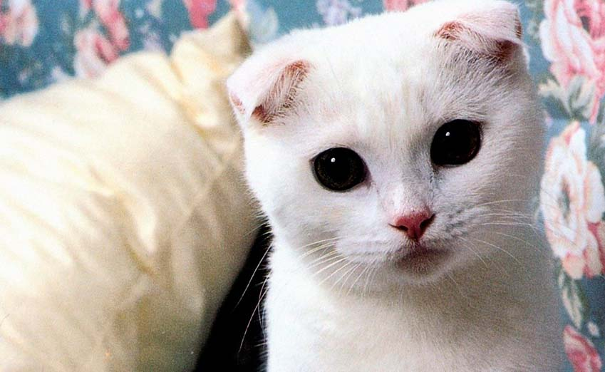 scottish fold cat images