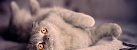 Thinking Twice Before Decide Cute Scottish Fold Cat as Your Pet