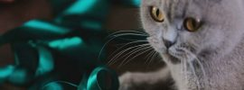 The Adorable Facts of Grey Scottish Fold Cat