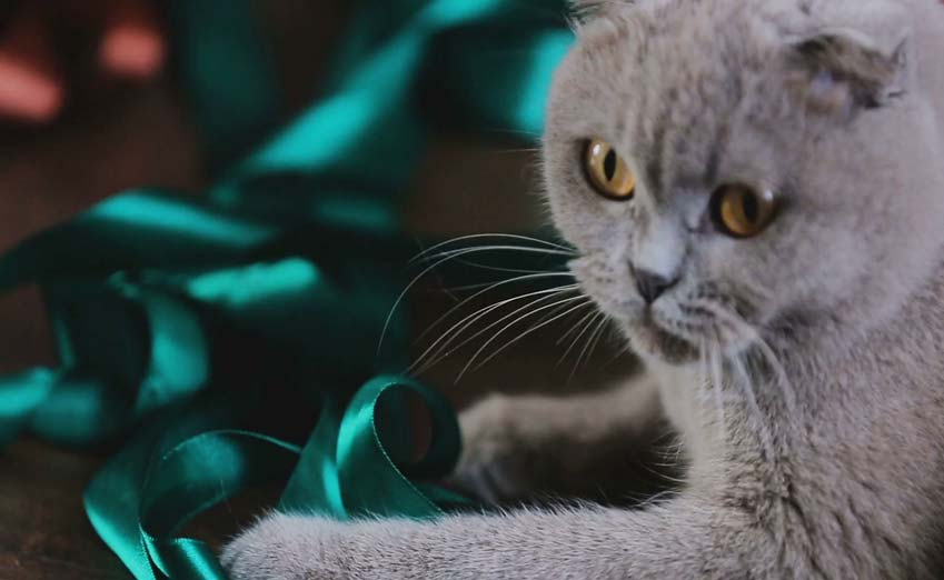 grey scottish fold cat