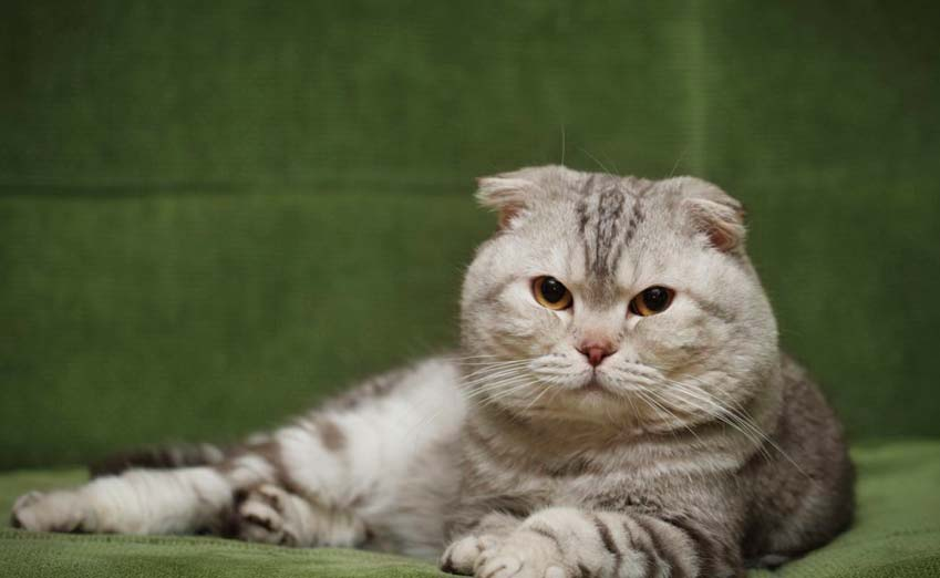 munchkin cat scottish fold mix