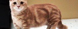5 Unique Things about Munchkin Cat Scottish Fold Mix