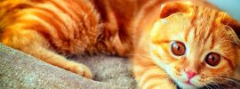 orange scottish fold cat