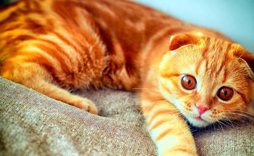 orange scottish fold cat