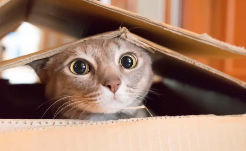 scottish fold cat temperament