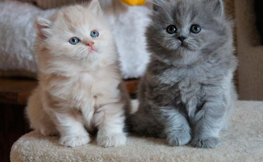 scottish fold Longhair Ca