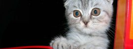 What You Must Know about Scottish Fold Cat Adoption