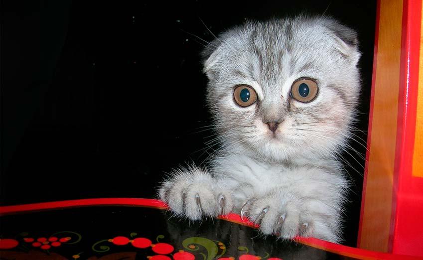 scottish fold cat adoption