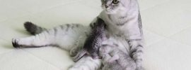 scottish fold cat itten