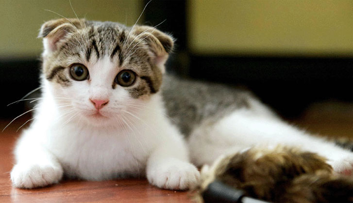 scottish fold cat temperament